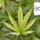 Call for Investors for CBD Flowers Plantation